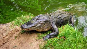 alligator in orlando